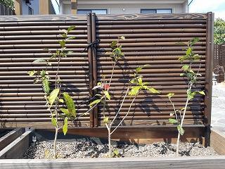 お茶の木を植えました (*^_^*)