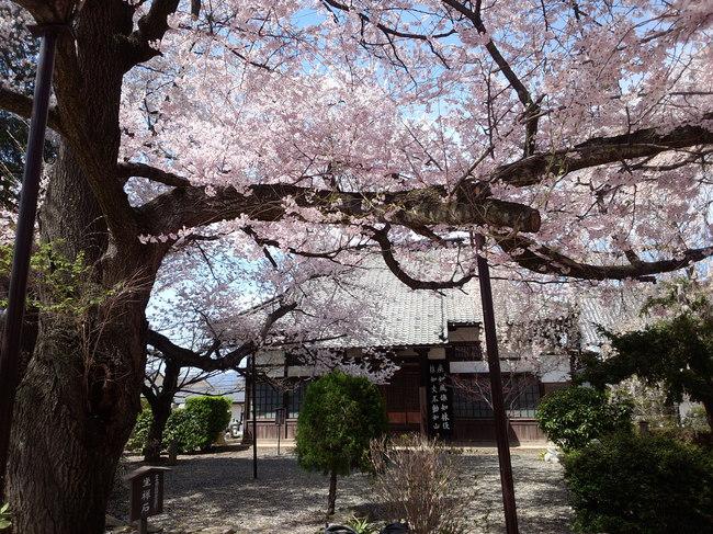 野村新説堂」:【典厩寺の桜】