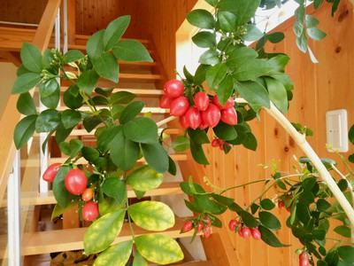 シルクジャスミンの赤い実