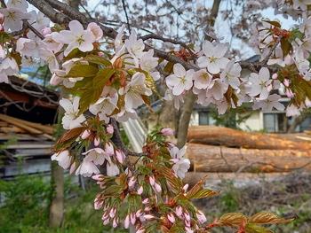 今、桜、咲いています。
