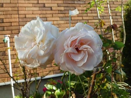 姫野 バラ 園 トップ - 村田ばら園 Murata Rose