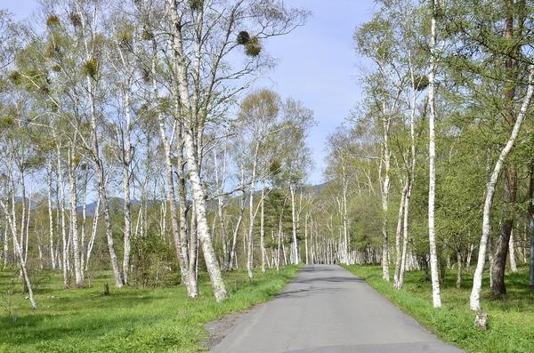■宅建協会 諏訪支部■白樺に鳥の巣? ヤドリギ でした 原村 八ヶ岳自然文化園